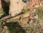 Iguanas at the NPS Playground