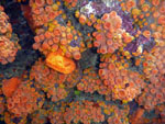 orange cup coral