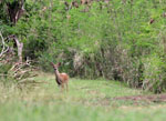 Deer on Hawksnest Bay Trail, Caneel bay, St. John USVI