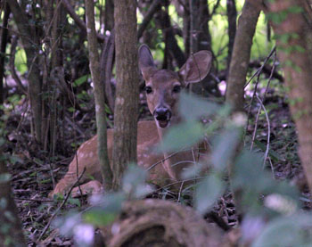 st john anomals: white tail deer