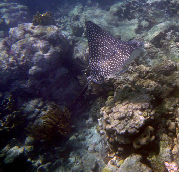 Aetobatus narinari, Spotted Eagle Ray