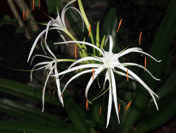 St. John Flora: Spider Lily