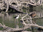 St. John Virgin islands Birds: Duck and Black-necked stilt