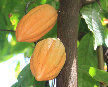 St. John Flora: Cacao tree, Theobroma cacao