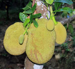 St. John Flora: Jackfruit