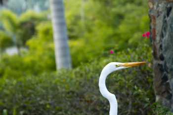 St. John Birds: Great Egret