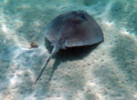 Southern Sting Ray