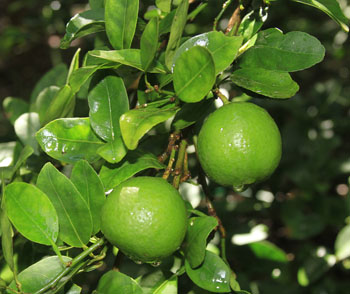 Key Limes