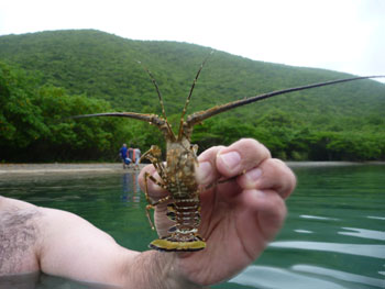 Leinster Bay Snorkel: baby lobster