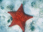 St. John Sea Creatures: Starfish