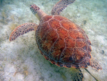 Green Turtle, Maho Bay, St. John, Virgin Islands