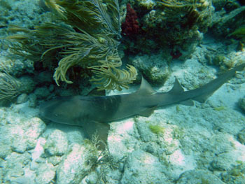 St. John Virgin Islands Sea Creatures: Nurse Sharks