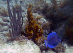 Blue Tang Salt Pond Bay St. John US Virgin Islands (USVI)