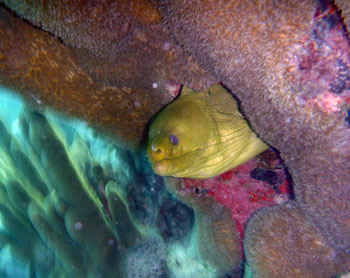 Moray Eel, Salt Pond Bay, St. John