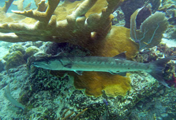 Trunk Bay Underwater Trail: Barracuda