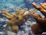 St John Marine Life: Elkhorn Coral