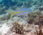 Yellowtail Snapper Trunk Bay Underwater Snorkel Trail