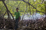 mangroves at water creek, st john