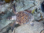 St. John Marine Life: Hawksbill Turtle