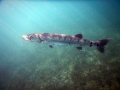 Barracuda at Maho Bay
