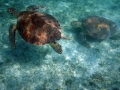 Twin Sea Turtles St John US Virgin Islands