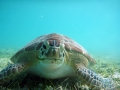 Turtle at Maho Bay St. John Virgin Islands
