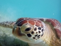 Green Turtle at Maho