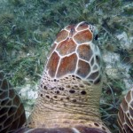 The green sea turtle (Chelonia mydas) is herbivorous