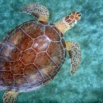 St. John Virgin Islands Sea Creatures: Green Sea Turtle