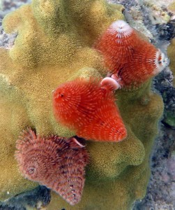 Maho Bay Snorkel: Christmas Tree Worm