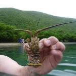 St. John Sea Creatures: Baby Lobster