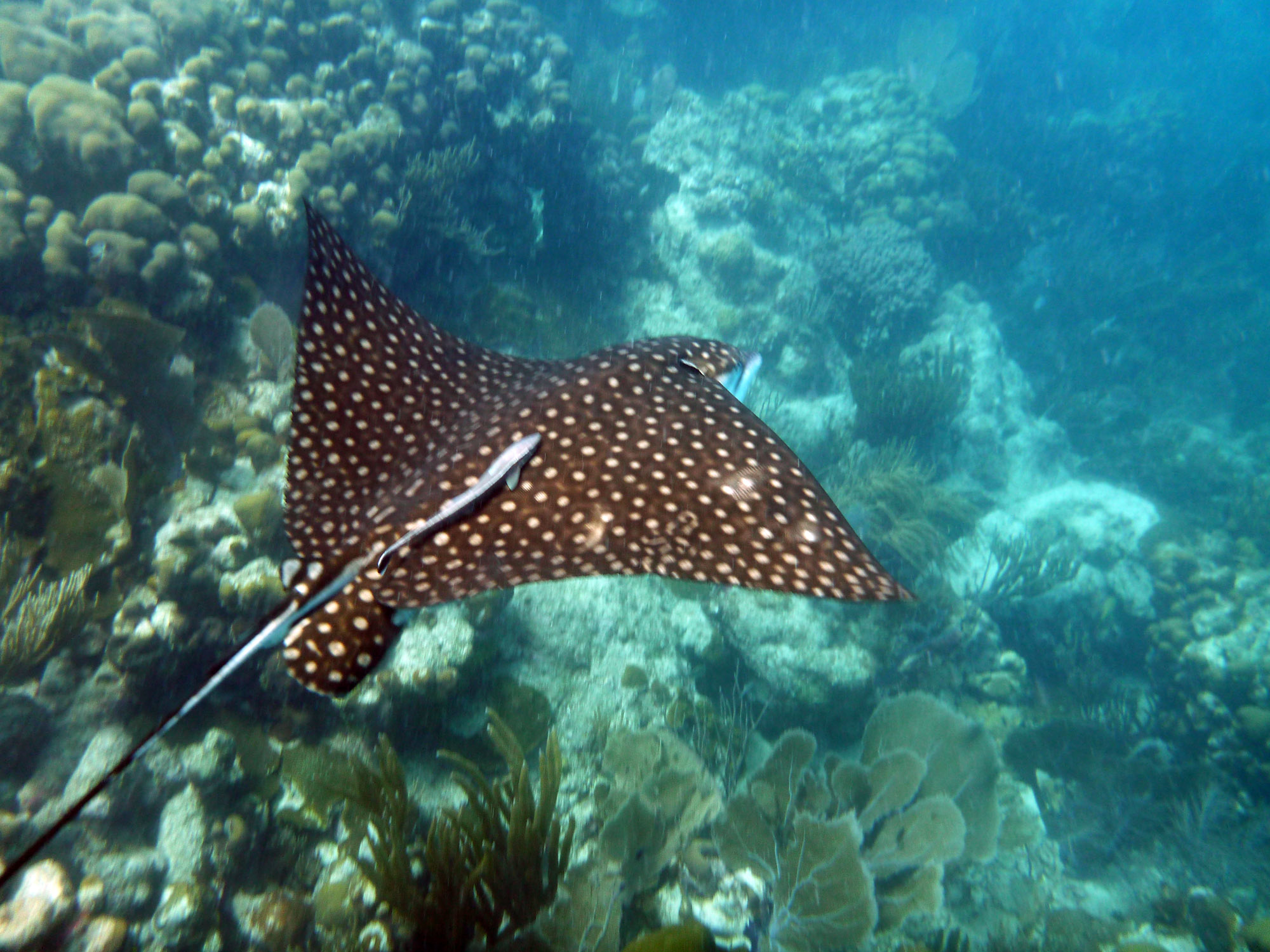 spotted eagle ray st john life