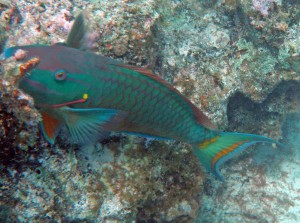 St. John Sea Creatures: Parrotfish