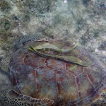 St. John Sea Creatures: Green Sea Turtle