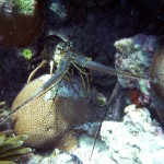 St John sea creatures: lobster