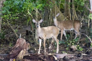 St. John Animails: White-Tailed Deer