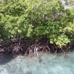 hurricane hole mangroves