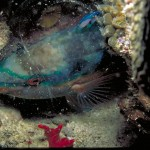 Parrotfish in bag