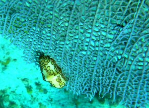 st john marine life: flamingo tongue