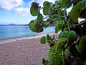 Trunk Bay Sea Grapes