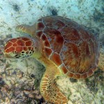 Green Turtle - Maho Bay, St. John USVI