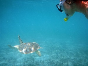 Turtle at Maho Bay
