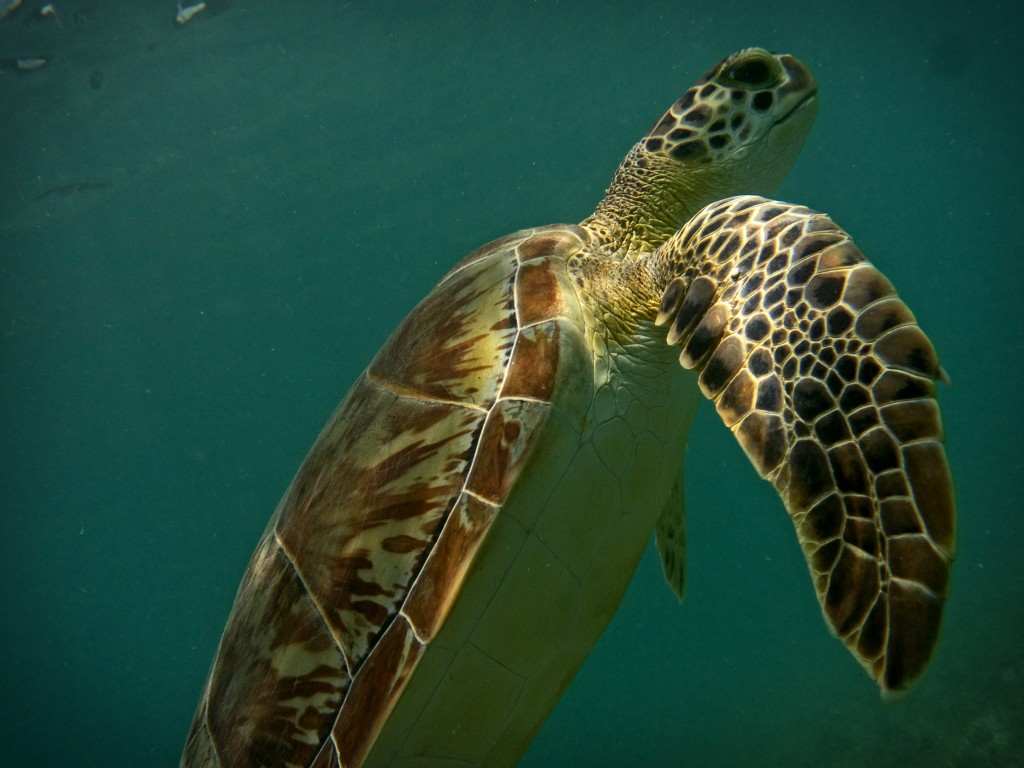 Turtle at Maho Bay, st. John Virgin islands
