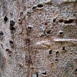 Holes in West Indian Locust made by Yellow-Bellied-Sapsucker