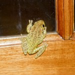 cuban tree frog