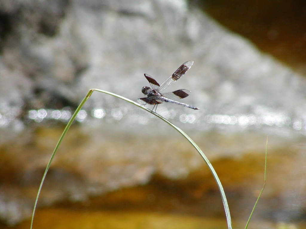 dragon fly at the pertroglyphs