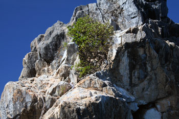 A Tree Grows on Carval Rock