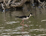 St, John Birds: Black-Necked Stilt