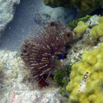 featherduster worm