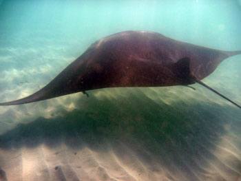 Manta Ray, Maho Bay St. John US Virgin islands (USVI)
